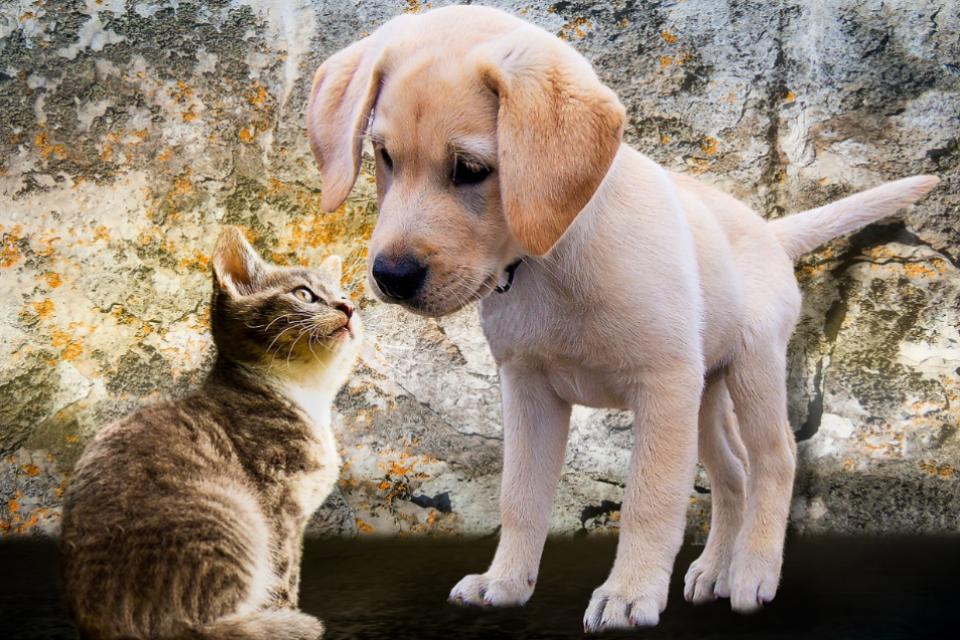 golden puppy looking at striped kitten